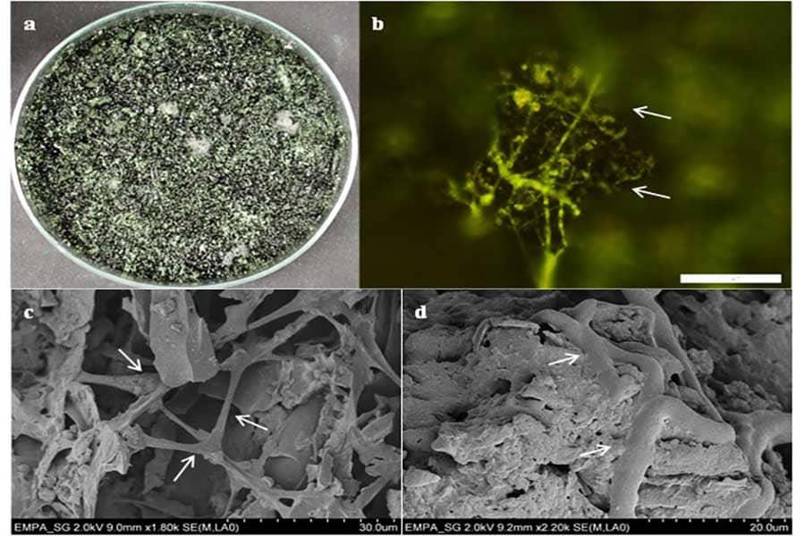 cura-delle-fitopatologie-delle-piante-Trichoderma-e-Biochar