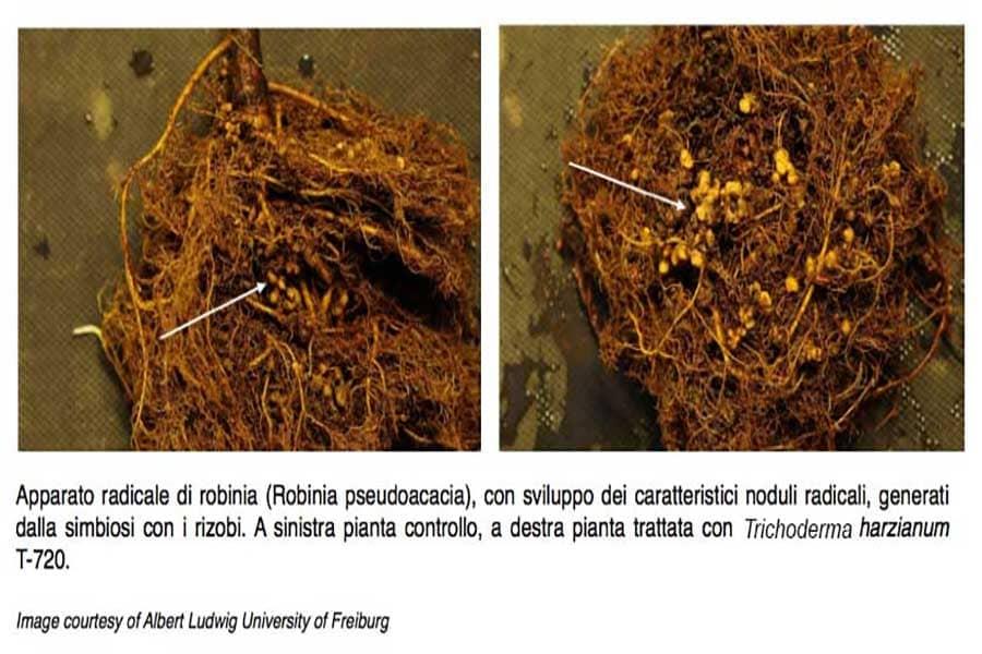interazioni-fra-trichoderma-spp e altri microrganismi del suolo